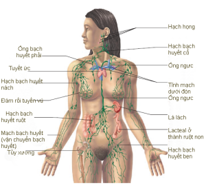 Hình 22.1 Hệ bạch huyết