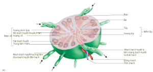Hình 22.6 (a) Các mũi tên chỉ hướng chảy của bạch huyết. Khi bạch huyết chảy đến các xoang, đại thực bào ăn các dị vật. Trung tâm mầm là nơi sản sinh tế bào bạch huyết