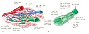 Hình 22.2 Sự hình thành và chuyển dịch của bạch huyết