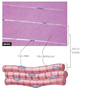 Hình 9.1 Các sợi cơ xương