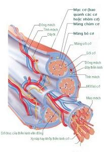 Hình 9.2 Các cấu trúc cơ xương, mô liên kết, sự phân bố thần kinh và nguồn cung cấp máu